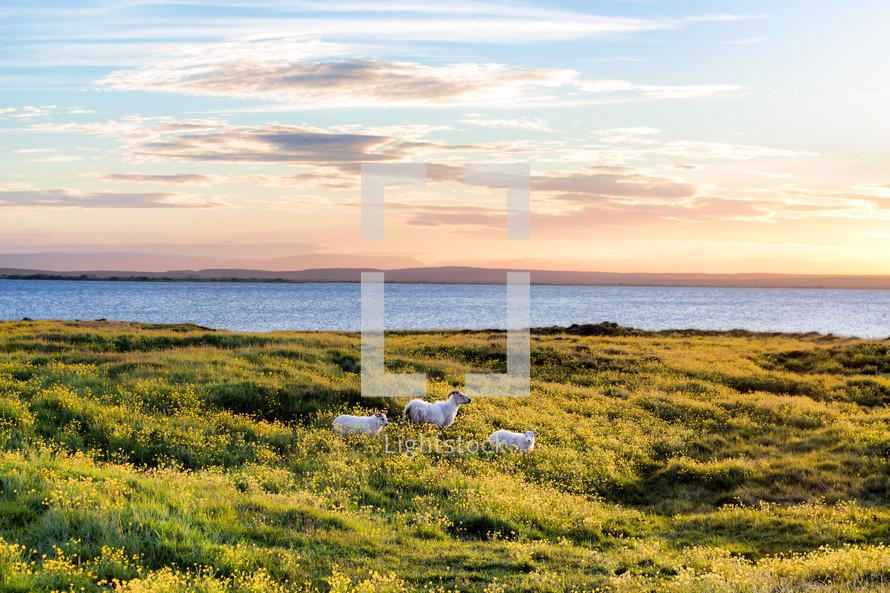 long horned sheep on a shore
