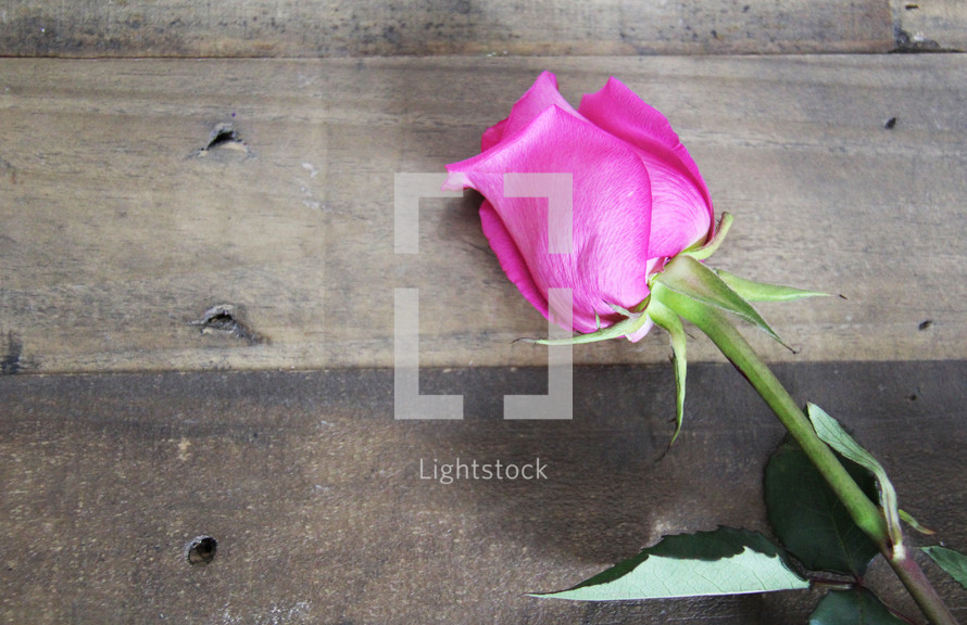 pink rose on a wood background