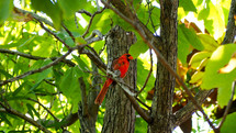 Red cardinal sitting in the branches of a tree.
