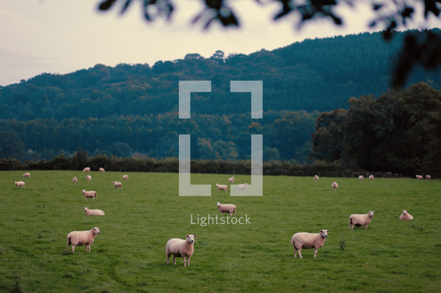 flock of sheep in a pasture