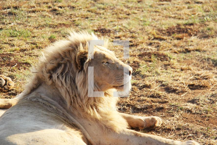 Resting Lion Photo Lightstock