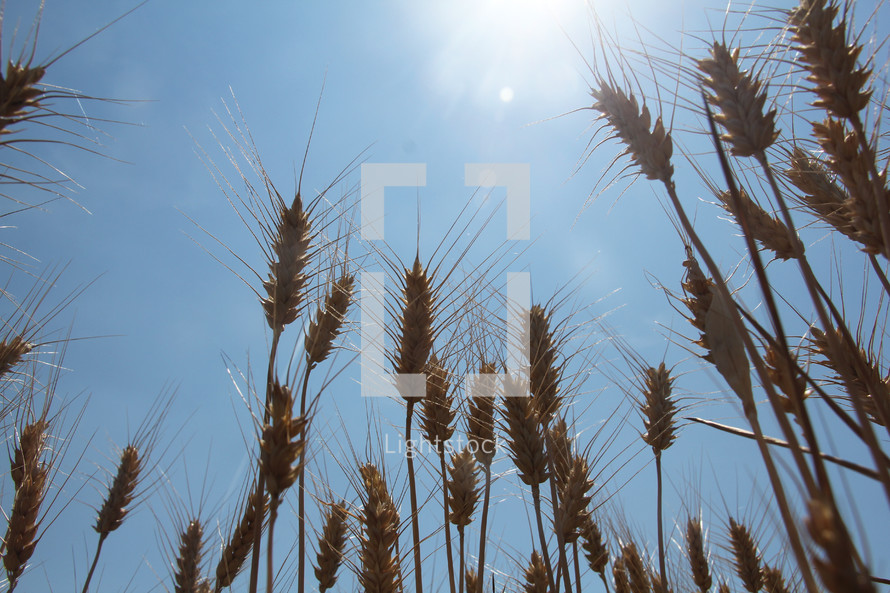 wheat grains closeup in a field