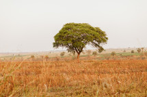 tree in a field in Uganda