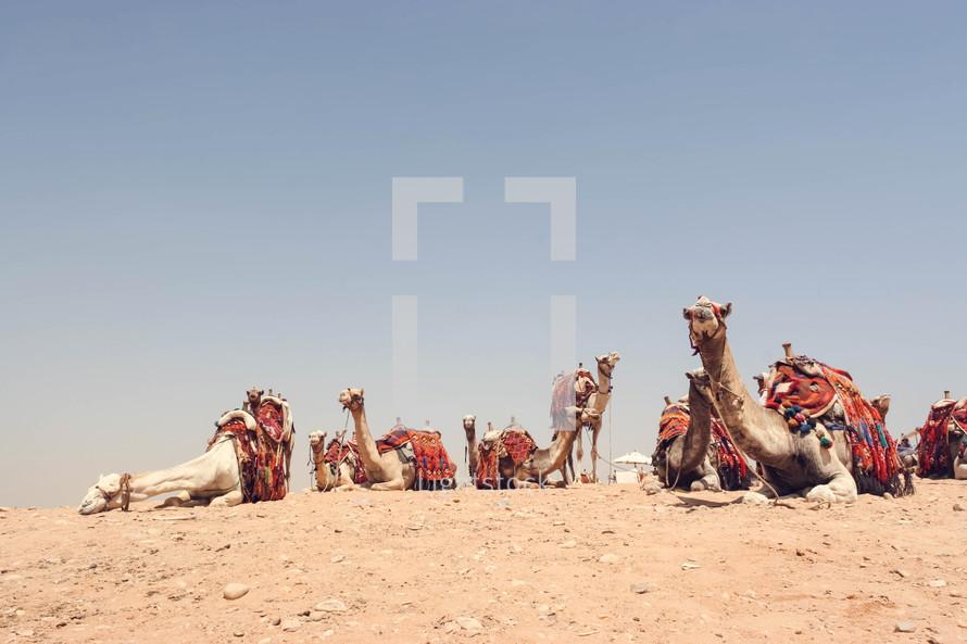 resting camels in the desert