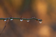 raindrops on thorns