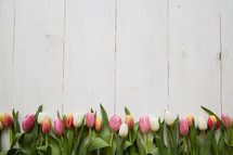 border of spring tulips on white wood boards