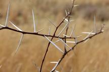 sharp throned plant