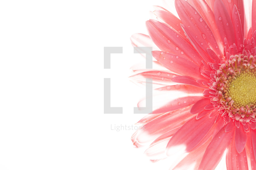 pink gerber daisy with fresh drops of water on petals