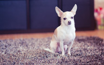 Chihuahua dog sitting on the carpet.