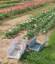 baskets and rows of tulips