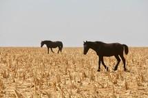 horses on dry farmland
