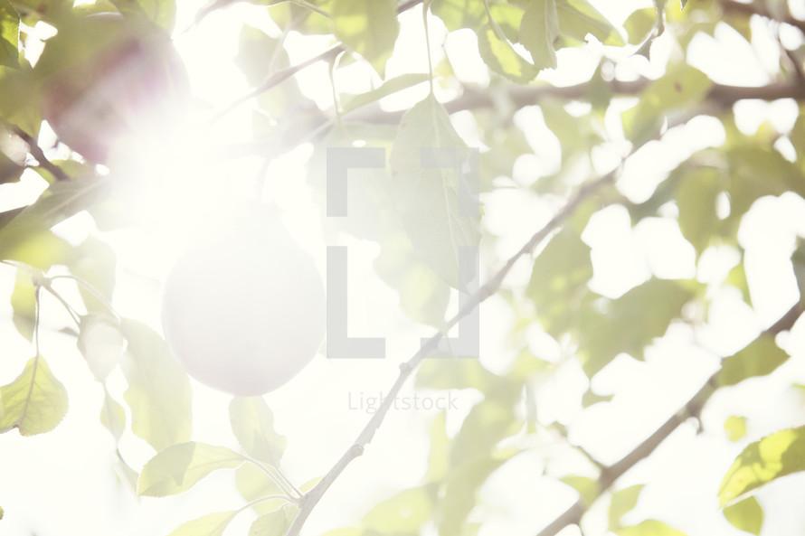 Sun beaming through the limbs of an apple tree.