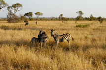 Field of Zebras