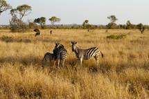 Field of Zebras