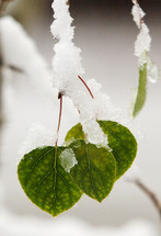 Snow-covered green leaves.