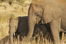 Baby elephant with Parent