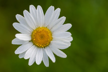 white daisy outdoors