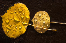 raindrops on yellow leaves