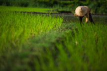 man in rice field