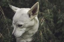 a dog hiding in a bush