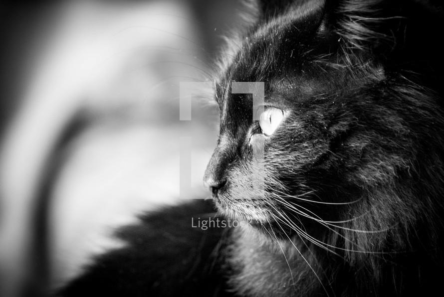 Close up of a black cat.