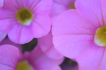 Pink petunias closeup
