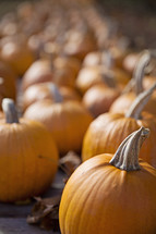 rows of orange pumpkins