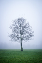 isolated tree in a fog covered field