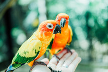 orange, yellow, and green parrots