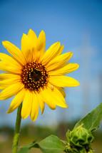 spider on a sunflower