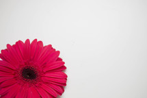 gerber daisy on a white background
