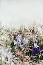 Crocus flowers blooming in springtime in the grass.