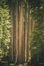 giant redwood forest