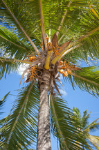 coconuts at the top of a palm tree