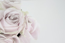 light pink roses on white background