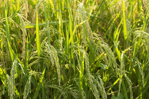 Rice Ready for Harvest in a Louisiana Field