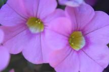 closeup of pink petunias