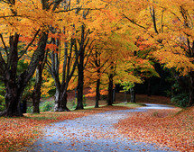 Pathway through fall leaves and trees.