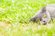 A cat in the grass.