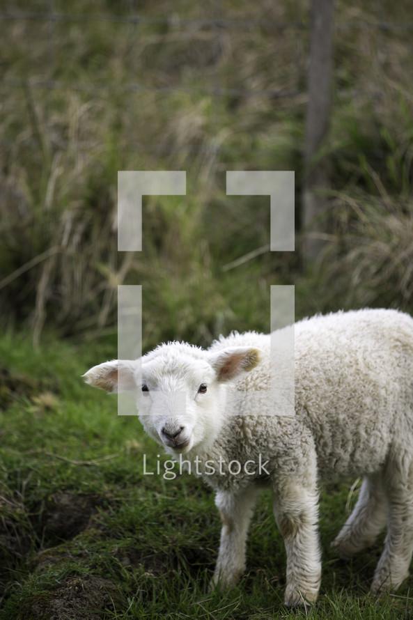 a lost lamb