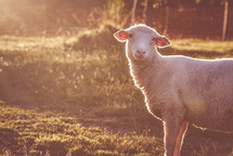 a lamb in a pasture
