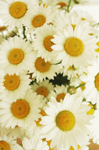 white daisies background