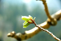budding leaves on a branch