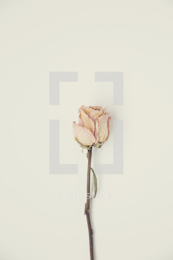dried rose on a white background
