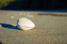 clam shell on a beach