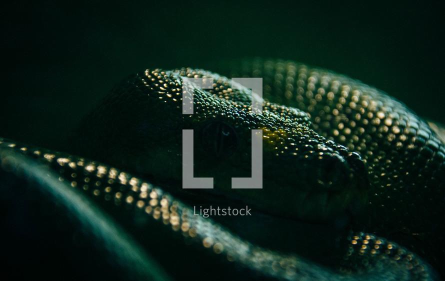 Python head