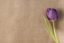 Tulip on burlap.