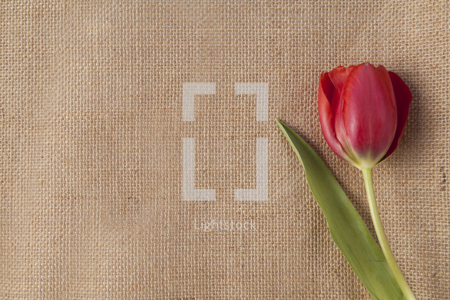 Tulip on burlap.