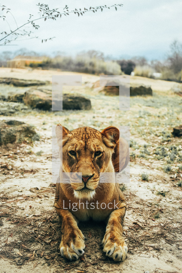 A hungry lioness looking directly into the camera