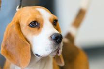 Portrait of beautiful beagle. Profile face of dog